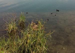 Nido di gallinella a Trezzo sull'Adda
